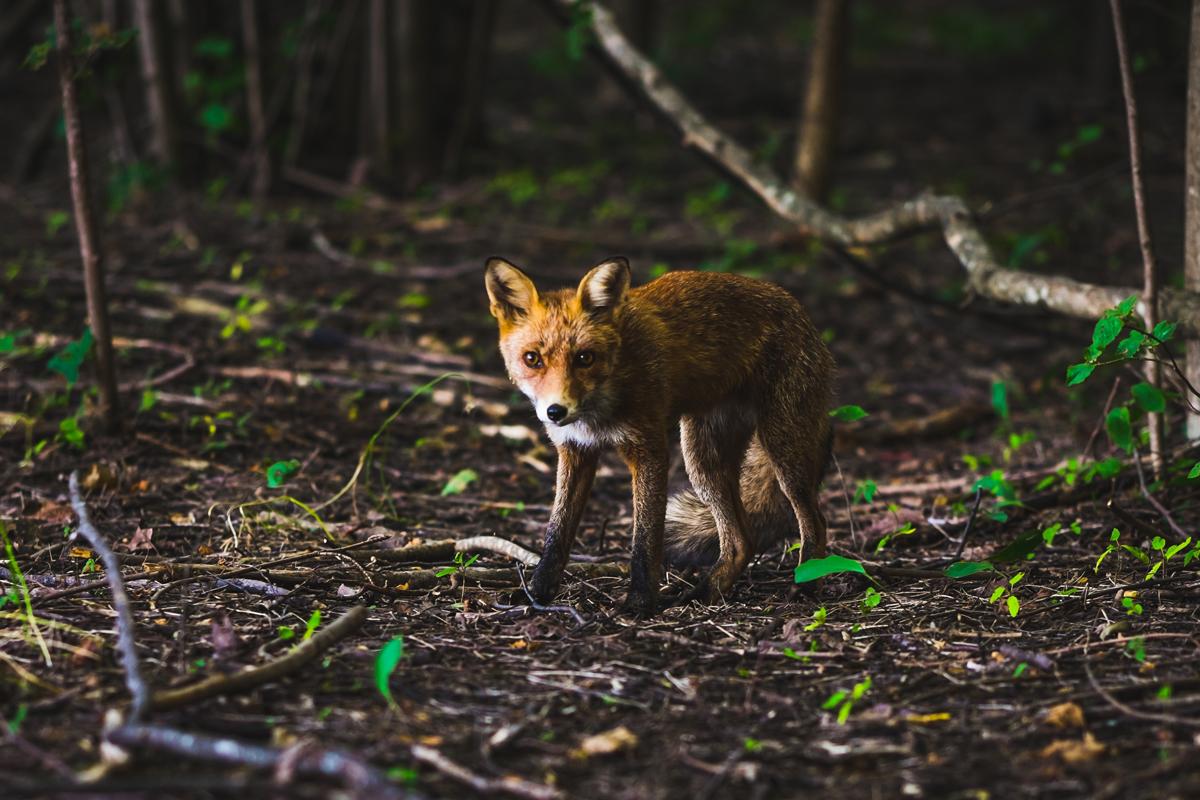 Fox Cub Rescued From Drain